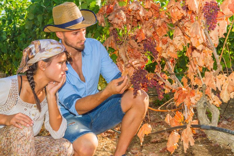 Как вылечить виноград от болезней и избавить вредителей