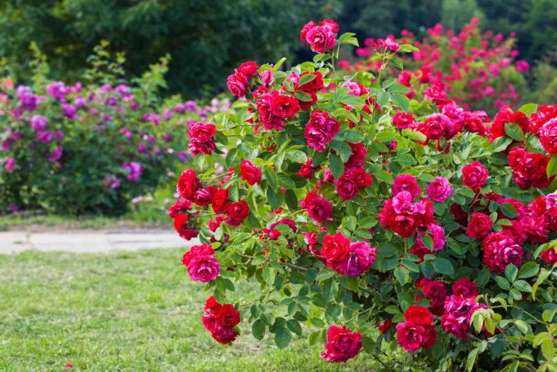 Как добиться пышного цветения роз? Самые лучшие варианты подкормки
