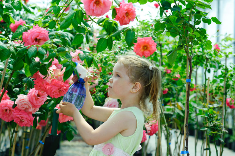 В какое время и чем подкармливать кусты роз, чтобы они обильно цвели