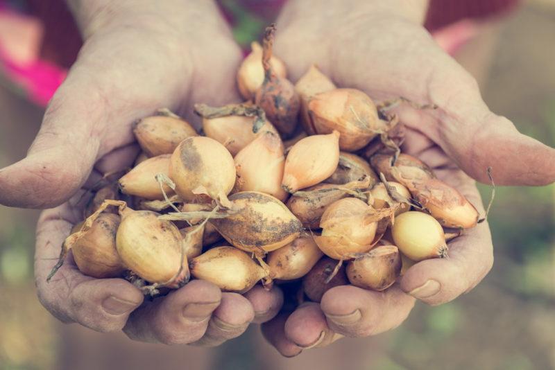 Лук на загородном участке: как добиться максимального урожая
