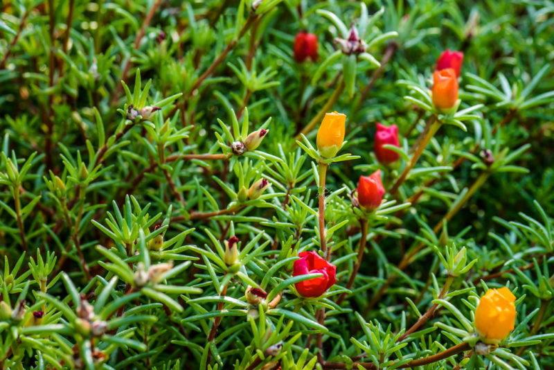 Портулак — неприхотливое декоративное растение: правила посадки и выращивания