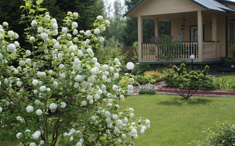 Калина Бульденеж в вашем саду