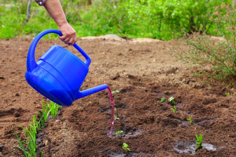 Подкормка клубники: от формирования бутонов до плодоношения