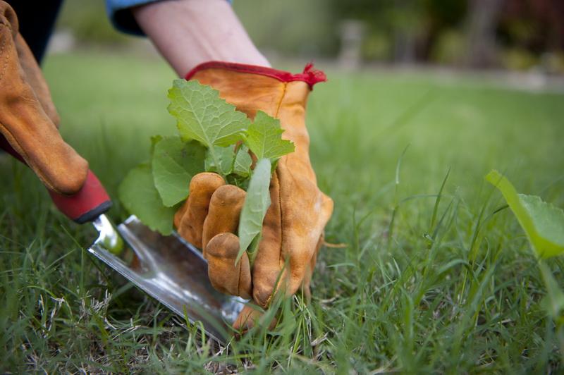 Искореняем сорняки на газоне: эффективный способ