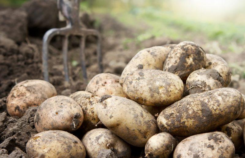 Применение сидератов при выращивании картофеля