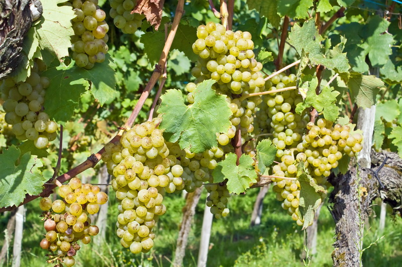 Поливаем виноград летом правильно