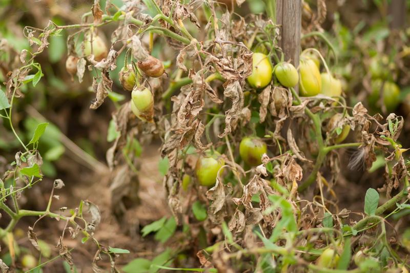 Фитофтороз и томаты: причины, профилактика и лечение