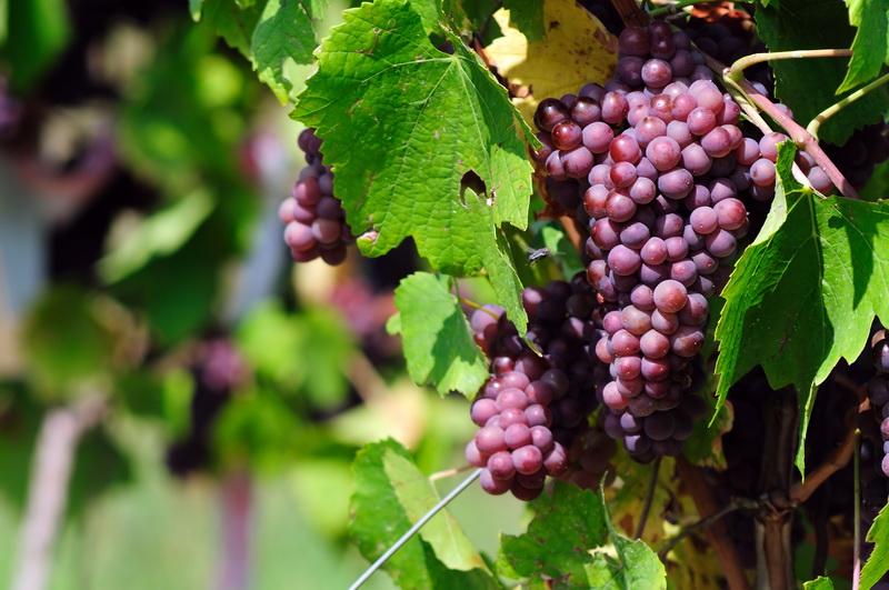 Топ-4 сортов винограда для средних широт