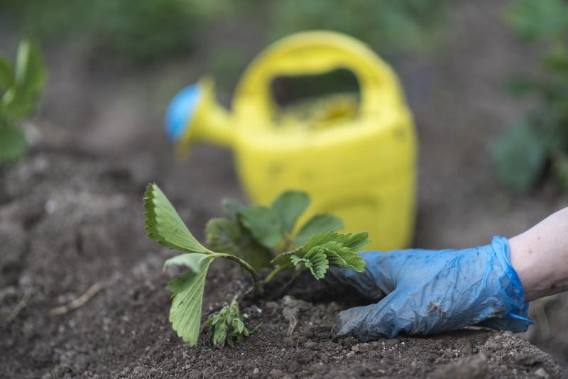 Посадка клубники в августе — залог отличного урожая в новом сезоне