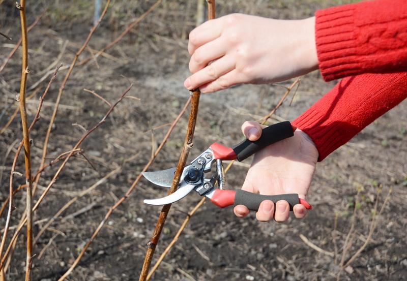 Как ухаживать за малинником после сбора урожая и подготовка его к следующему сезону