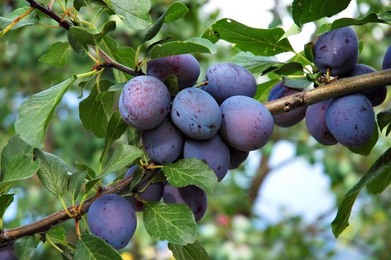 7 основных причин отсутствия плодов на сливовом дереве