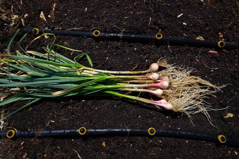 Жаркий месяц август в огороде — чем необходимо заняться