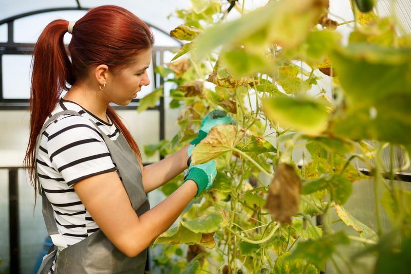 Как избавиться от пожелтения листьев огурцов