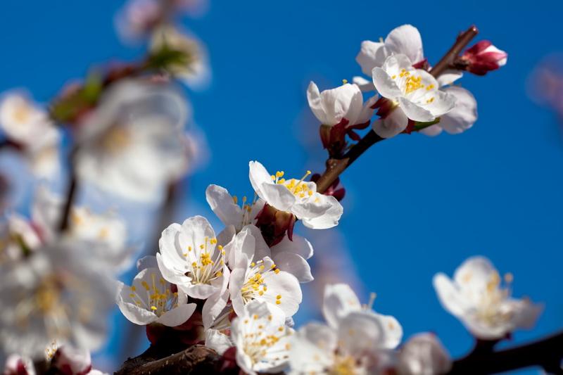Почему абрикосы не плодоносит и что с этим делать