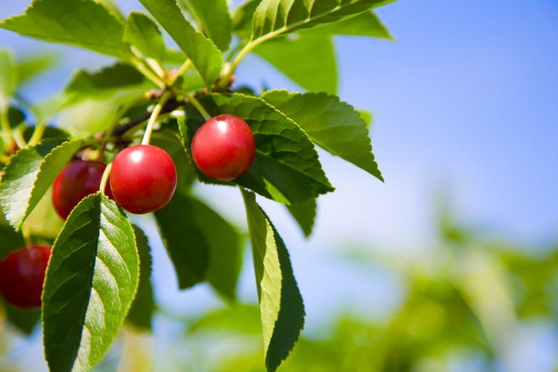 Уход за вишней после сбора урожая и в конце сезона: 5 главных дел