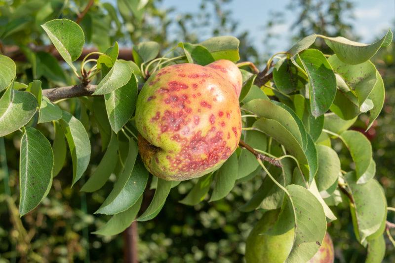 Яблоня, груша, слива в июле: вредители и болезни