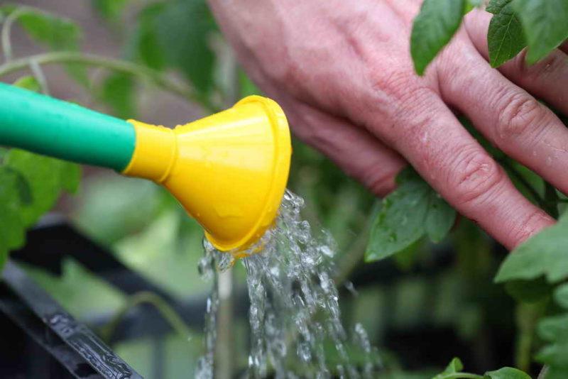 Секрет хорошего урожая помидоров — что необходимо сделать, чтобы растянуть процесс плодоношения