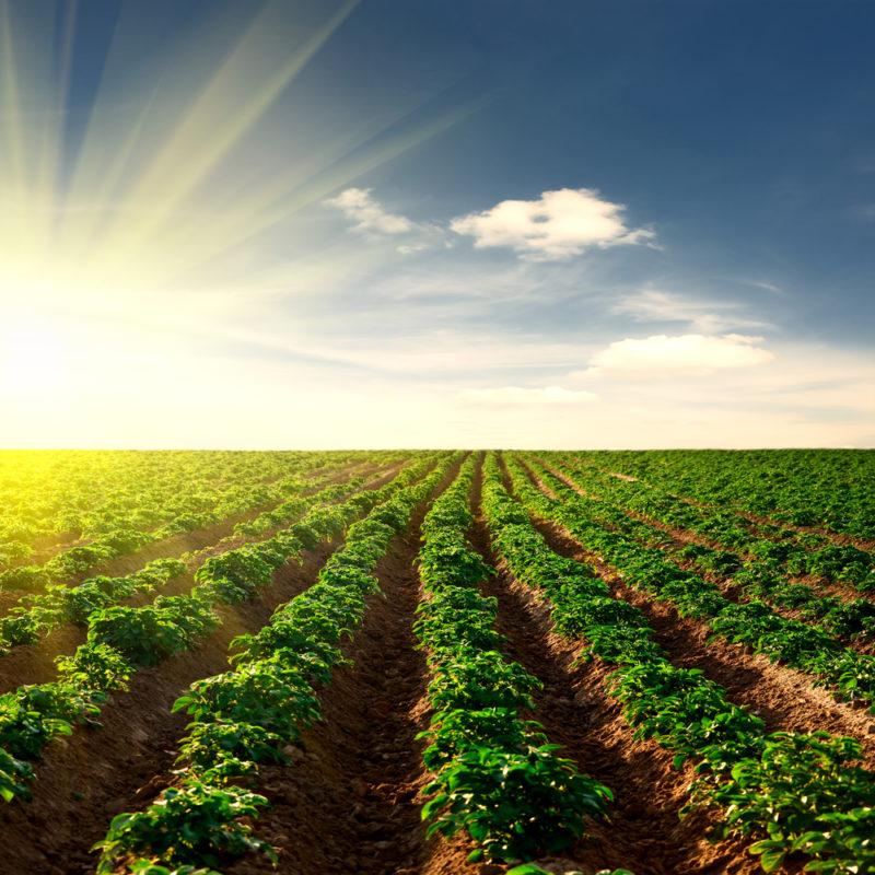 Как спасти посадки картофеля в засушливый сезон: пять несложных приемов