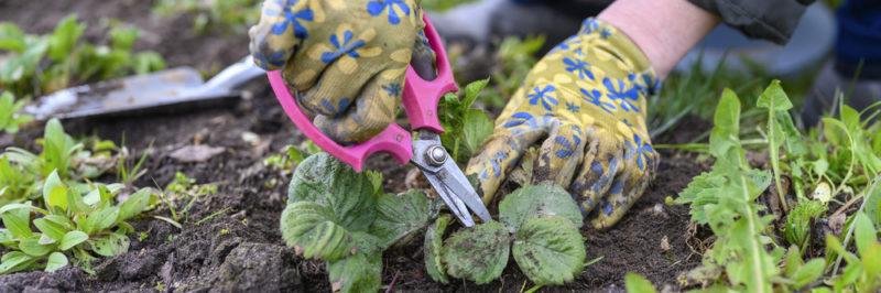 Как правильно обрезать клубнику после сбора урожая