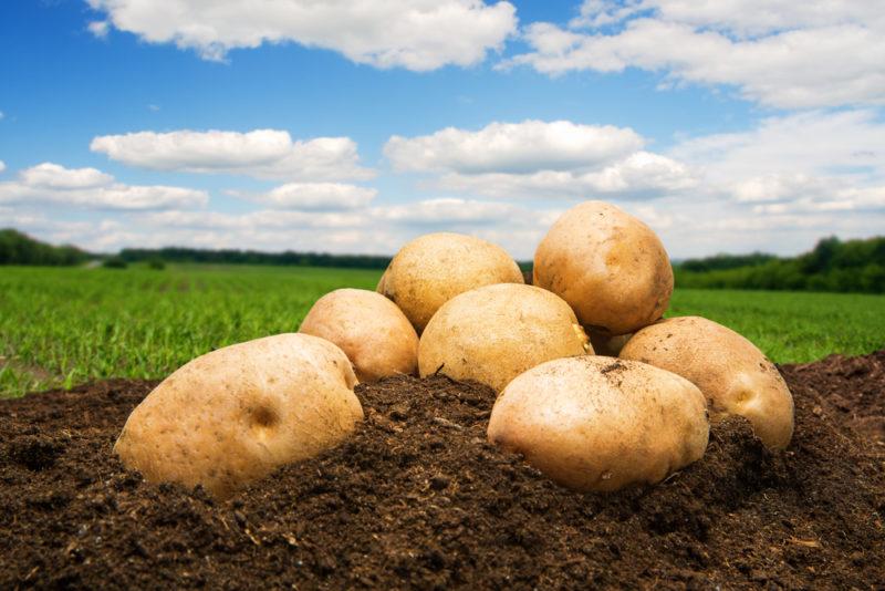 Почему вам стоит обязательно посадить на своем участке картофель сорта Гала: характеристики сорта, преимущества, основы ухода