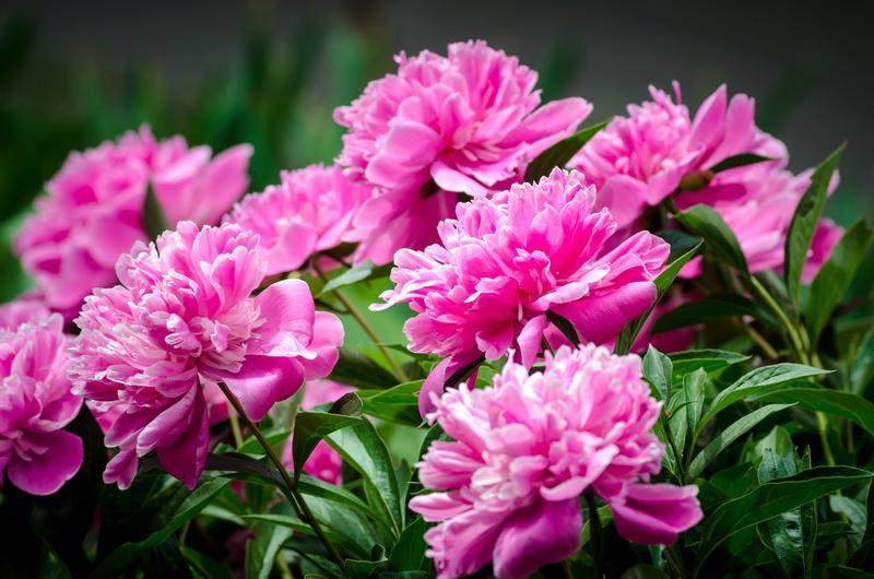 Основные этапы ухода за пионами после цветения