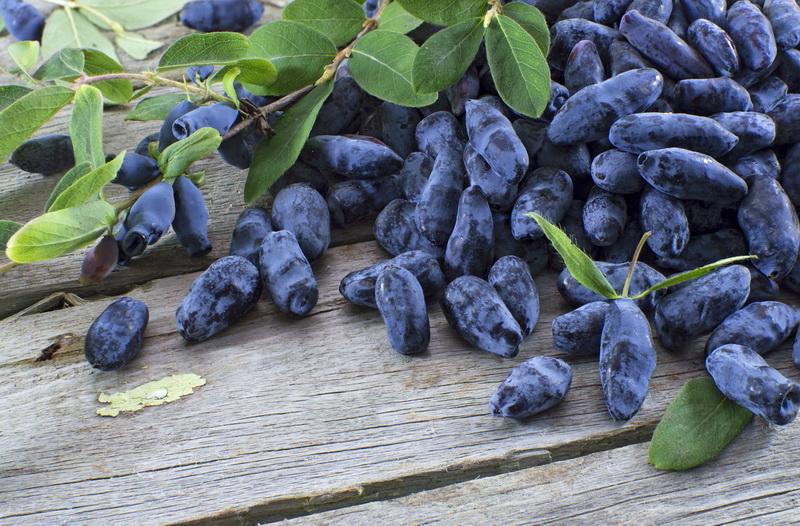 Жимолость после сбора урожая: несколько советов по уходу