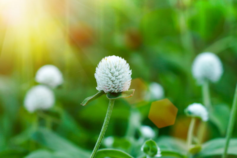 Низкорослый белый клевер для посадки на газоне