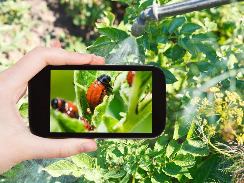Как применять нашатырный спирт при борьбе с колорадским жуком на картошке