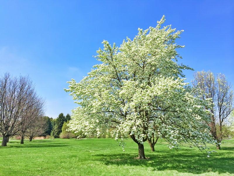 Причины отсутствия цветения у груши