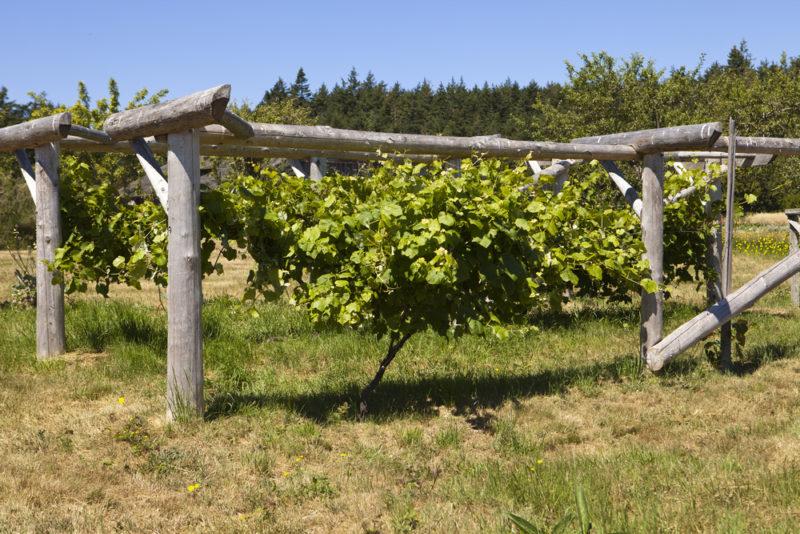 Когда готовить виноград к зимовке: температура, при которой его укрывают