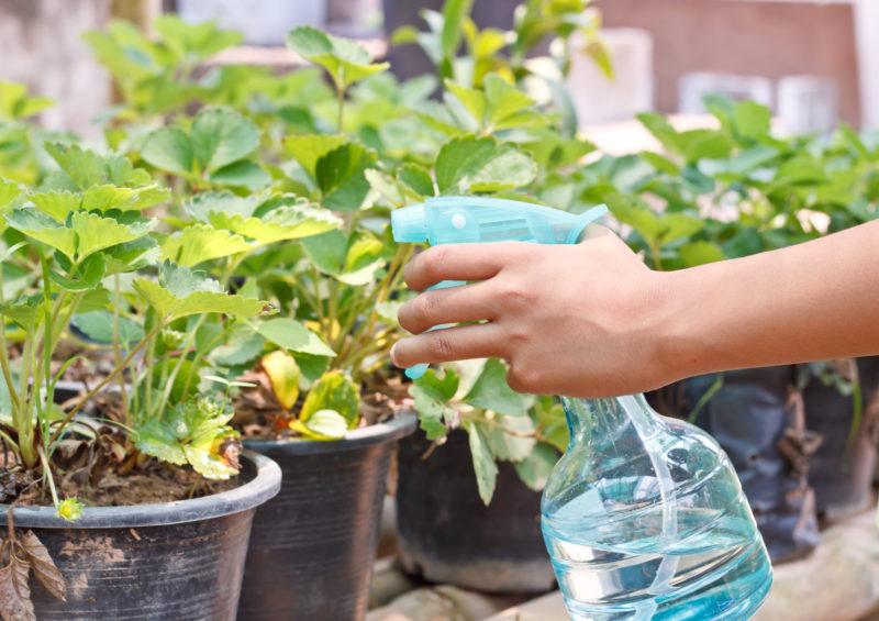 Правила выращивания гортензии в комнатных условиях