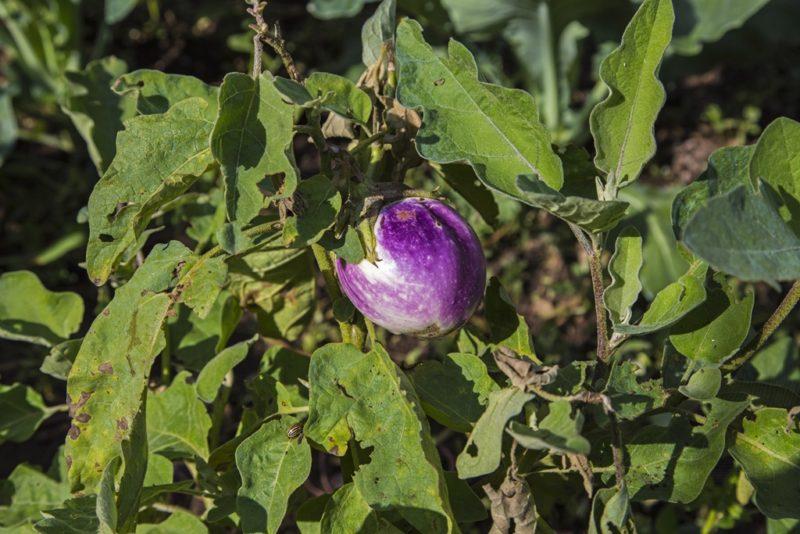 Почему у перца и баклажанов желтеют листья: способы борьбы с этим явлением