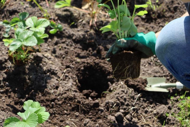 Правила посадки клубники в августе