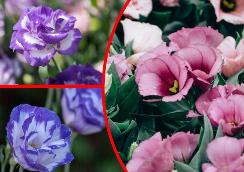 Нежная эустома: выращиваем на подоконнике