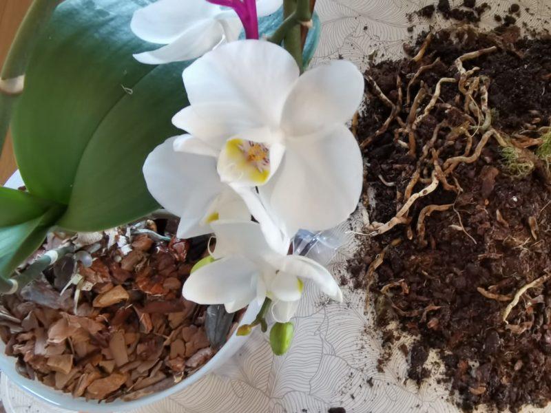 Как размножить фаленопсис разными способами