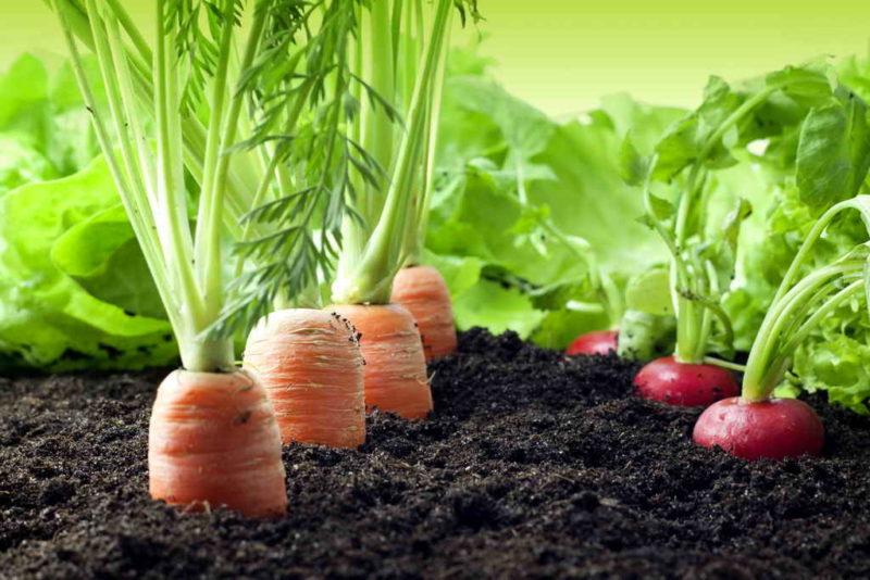 Выращиваем морковь по правилам севооборота