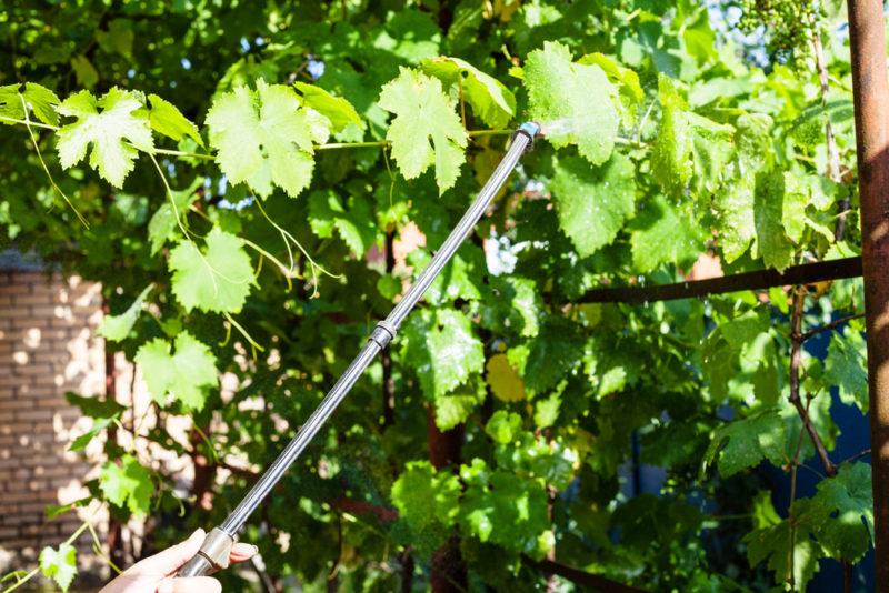 Полив виноградной лозы летом: некоторые тонкости процедуры