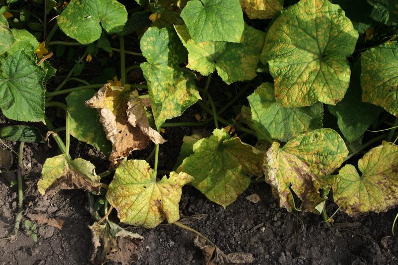 Почему желтеют листья огурцов: основные причины