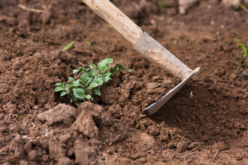 Картофель, который успешно культивируется в России — сорта и особенности