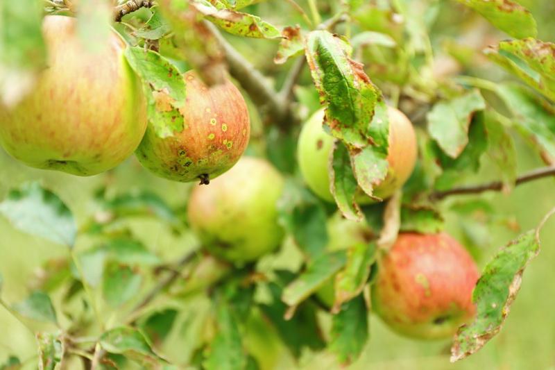 Здоровая яблоня — кладезь витаминов круглый год. Как лечить дерево от распространенных болезней
