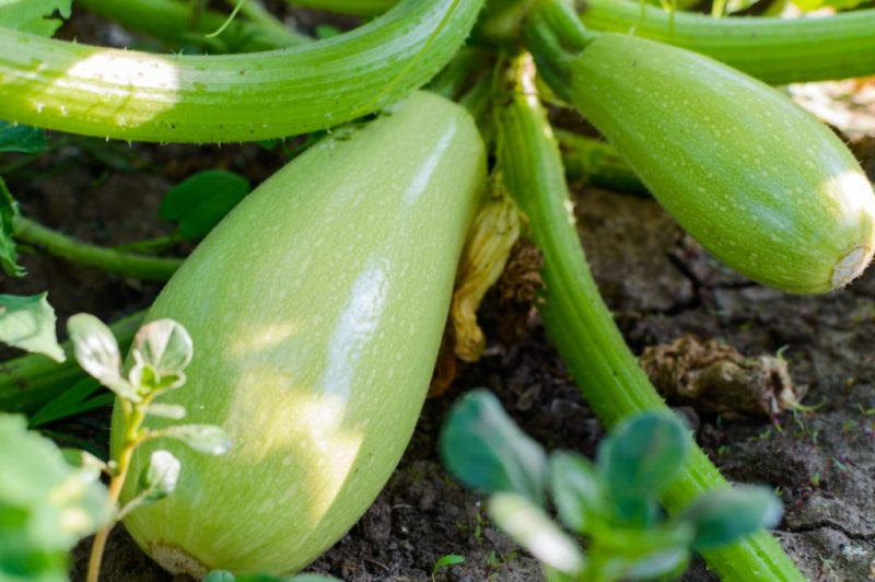 Как вырастить кабачки и сэкономить место в огороде