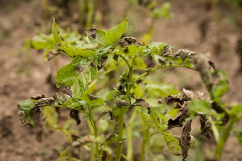 Чернеет ботва у картошки: как спасти урожай