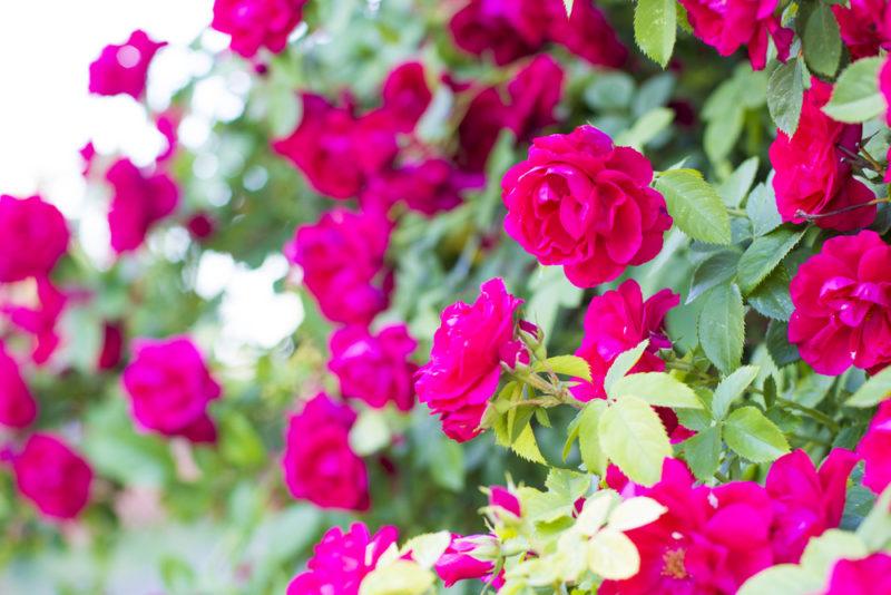 Садовые почвопокровные розы