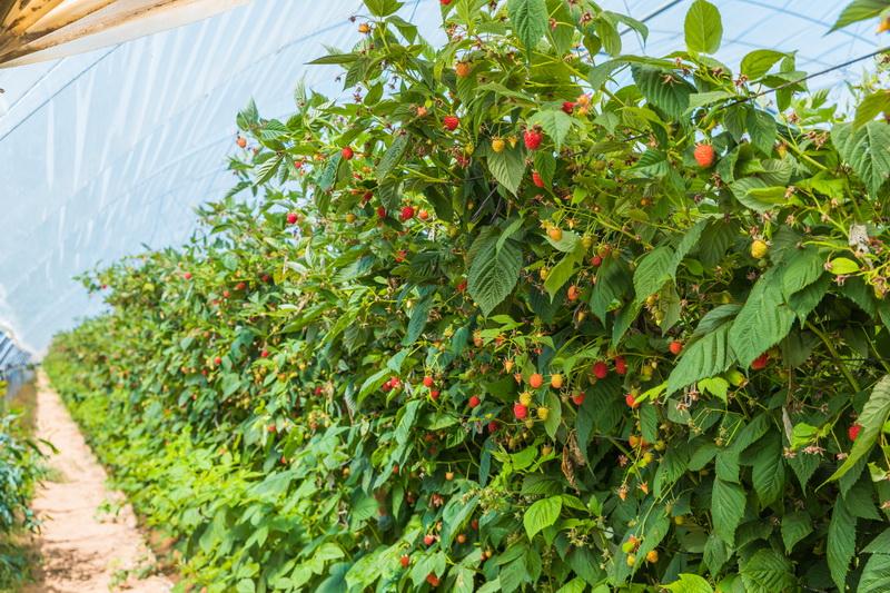 8 основных болезней садовой малины: признаки, методы лечения