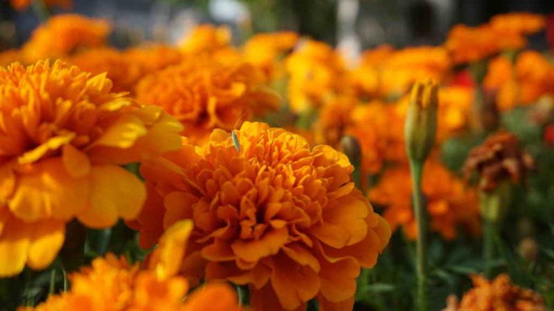 Бархатцы: особенности и польза цветов