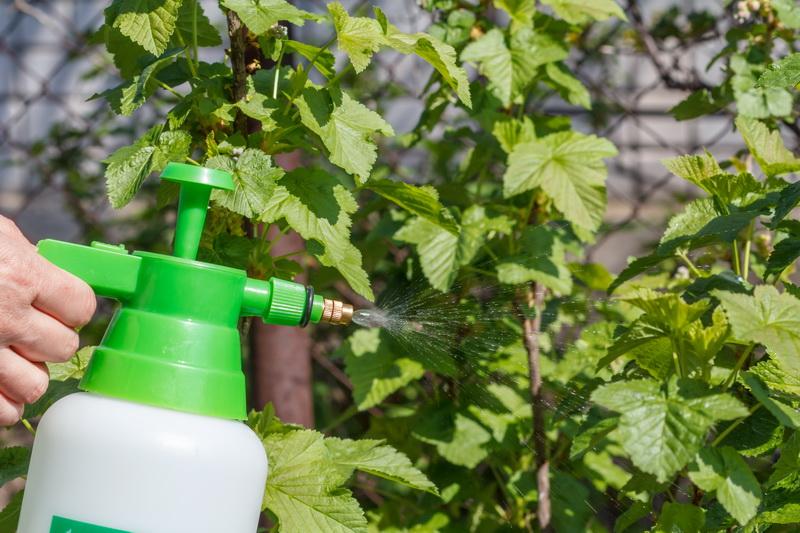 Осенние смородиновые хитрости: как защитить растение от нашествия насекомых и паразитов