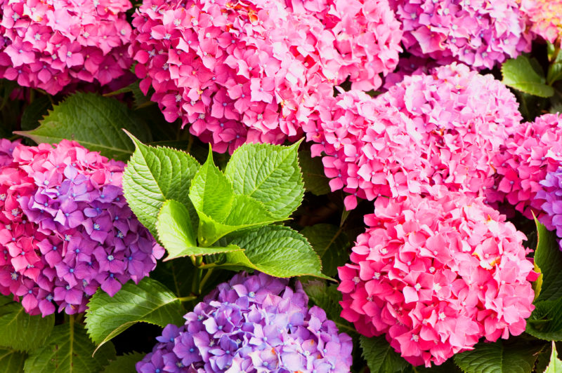 Как заботиться о гортензии в августе — удобряем садовую красавицу