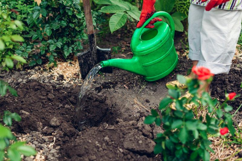 Основные нюансы подкормки роз летом и в начале осени