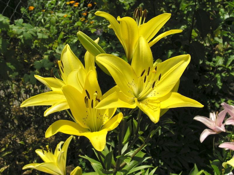Осенняя пересадка лилий — залог буйного цветения в следующем сезоне