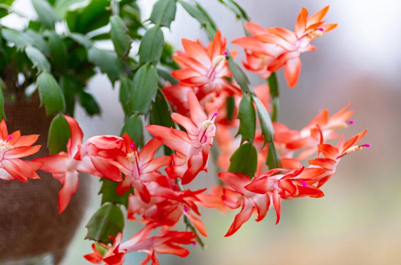 Цветок декабрист: правильные поливки, подкормки и условия содержания